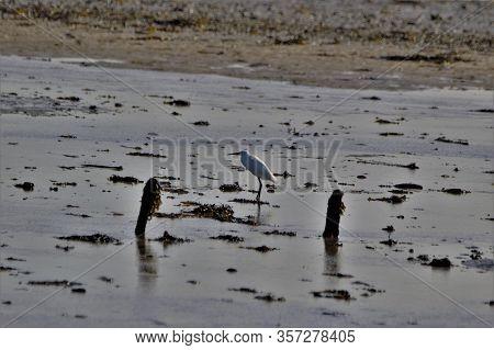 Little Egret On Salt Marsh, Keyhaven Marshes , Uk South Coast