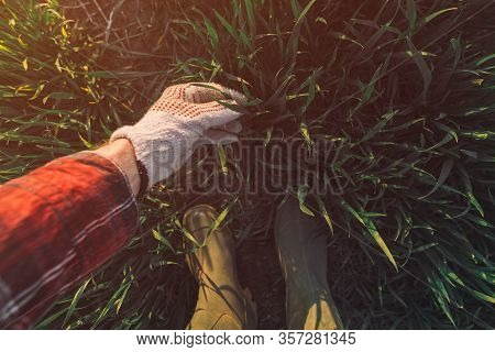 Farmer Touching Wheatgrass In Field And Examining Development Of Cereal Crops, Selective Focus