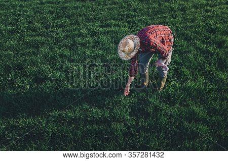 Wheat Farmer Analyzing Crop Development, Adult Male Farm Worker Checking Up On Wheatgrass Plantation