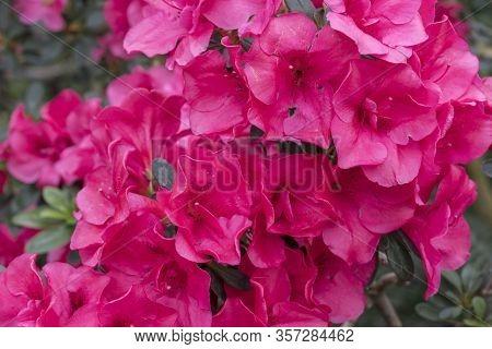 Azalea Blossom, Red Color. Flowering Purple Azaleas In The Winter Garden. Horizontal Closeup Image O