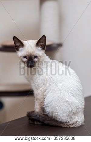 A Young Thai Cat Sits On A Table Against The Background Of A Game Complex For Cats.