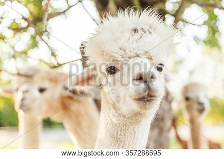 Cute Alpaca With Funny Face Relaxing On Ranch In Summer Day. Domestic Alpacas Grazing On Pasture In