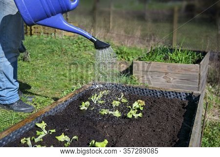 Blue Watering Can Pours Water On Young Lettuce Plants In A Wooden Raised Bed, Vegetable Cultivation