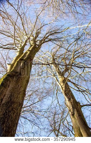 A Tree Tops Of Two Beech Trees In The Sababurg Primeval Forest