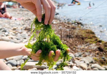 Close-up shot of edible seaweed