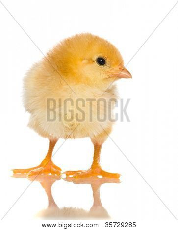 cute baby chicks, over white background