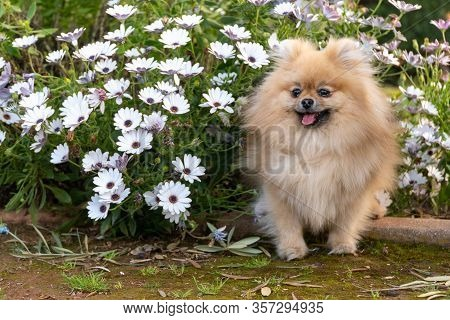 Dog Pomeranian Spitz Sitting On Blossom Flowers. Close-up Portrait Of Smart Brown Puppy Pomeranian D