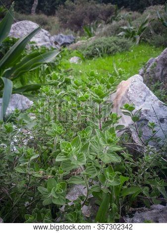 Wild Oregano Grows In The Mountains. Raw Green Oregano In Field. Greek Natural Herb Oregano. Green A