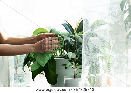 Sprayers And House Plants On A Window Sill. Home Plant Care. Spraying With Water. Garden Care. Ficus