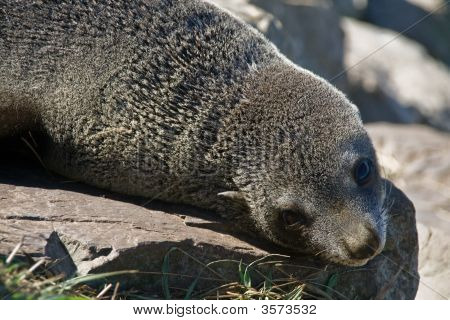 poster of New Zealand Fur Seal Posing on the rocks