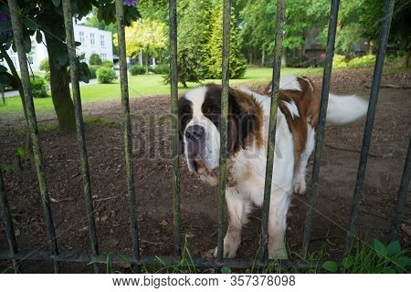Saint Bernhard Dog Serving As A Guard Dog. The St. Bernard Is A Breed Of Very Large Working Dog From