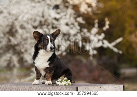 Cute Dog Breed Welsh Corgi Cardigan Sitting In The Park For A Walk In The Spring. Concept Of Dog Pro