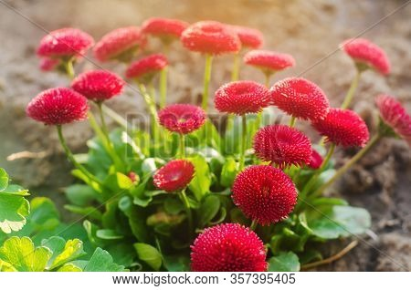 Beautiful Red Vibrant Flowers Bellis In A Spring Sunny Garden. Daisy Family. Bellis Perennis. Soft S