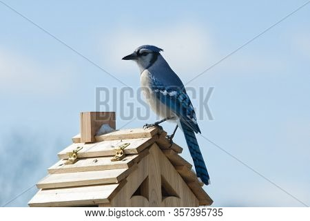 Beautiful Blue Jay, Cyanocitta cristata, sitting on top of a bird feeder on a cold winter day