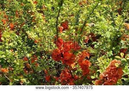 Florescence Of Orange Japanese Quince Bush In April