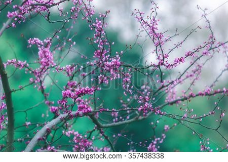 Purple Flowers Of Cercis Canadensis On Bright Emerald Green Background. Delicate Floral Background.