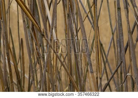 Brown Reed Texture. Dried Stalks Of Reed, Abstract Background. Wild Dry Swamp Grass  In Nature