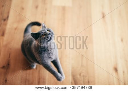 Cute British cat playing and having fun on the floor. Ready to jump and hunt. British shorthair breed