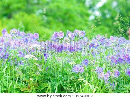 early summer flowering geranium
