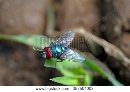 Oriental Latrine Fly - Green Flies, Close Up Details Of Flies