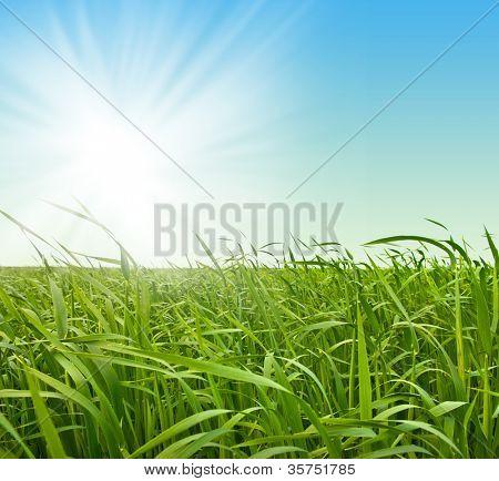 Fresh green grass against the sky