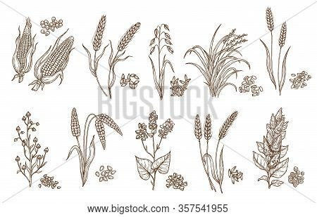 Cereal Grain And Plant Isolated Sketches Of Agriculture Harvest And Food Vector Design. Seeds Of Whe