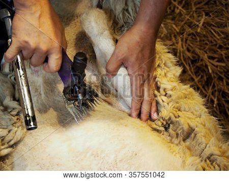 Farmer Shearing Sheep For Wool In Barn.sheep Shearers Shearing Sheep Wool With Electric Clippers
