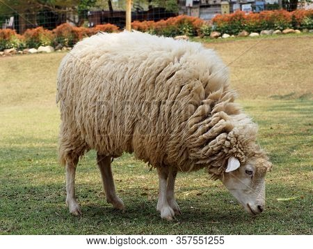 Sheep In A Meadow On Green Grass.sheep Eating In Field, Long Wool Hair Sheep In Meadow Eating Grass