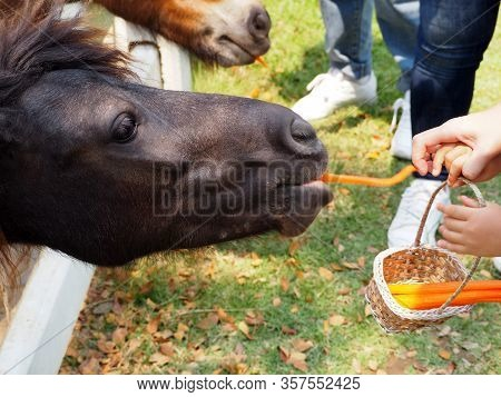 Hand Is Feeding A Carrot To A Dwarf Horse In The Stables. Dwarf Horse Head Sticking Out From A Woode