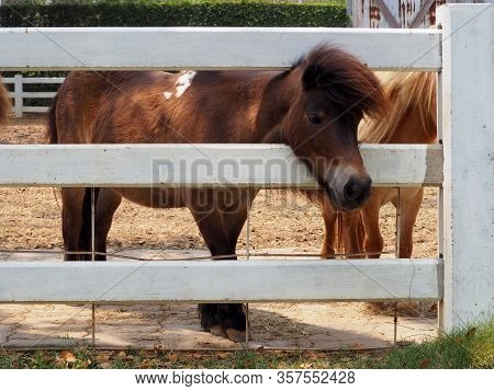 Dwarf Horse Head Sticking Out From A Wooden Fence.dwarf Horses On The Farm