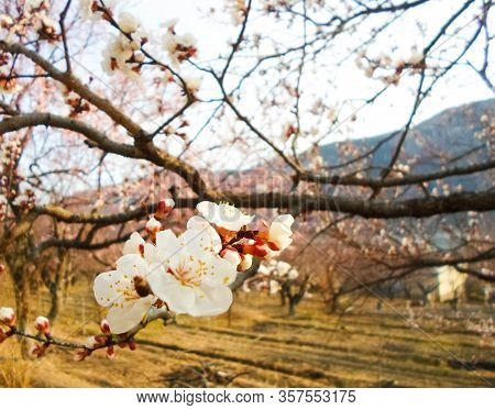 Beautiful White Flowers On An Apricot Tree. Spring Flowering Apricot Tree In The Garden Against A Bl