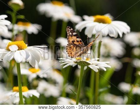 Painted Lady Butterfly (vanessa Cardui) Sitting On Flower Leucanthemum Ircutianum
