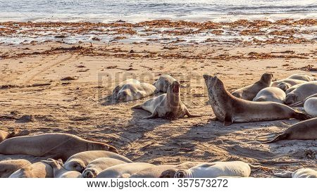 Two Elephant Seals Fighting And Howling At Each Other At Elephant Seal Vista Point, San Simeon, Cali