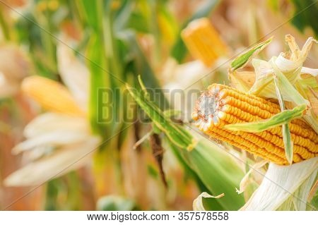 Corn On The Cob In Plantation Field. Ripe Maize Crops Are Ready For Harvesting.
