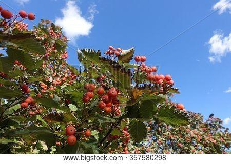 Reddish Orange Berries In The Leafage Of Sorbus Aria Against Blue Sky In October