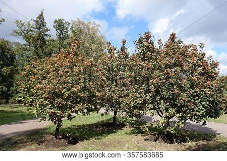 Three Trees Of Sorbus Aria With Orange Berries In September