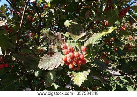 Unripe Berries Of Sorbus Aria In October