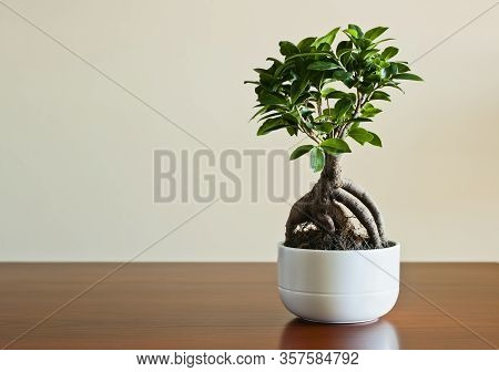 Ficus Ginseng Bonsai On White Plantpot. Ficus Retusa.