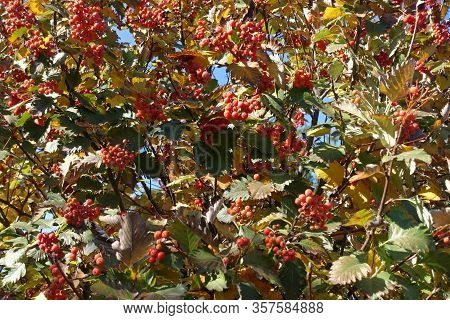 Varicolored Foliage And Red Berries Of Sorbus Aria In Mid October