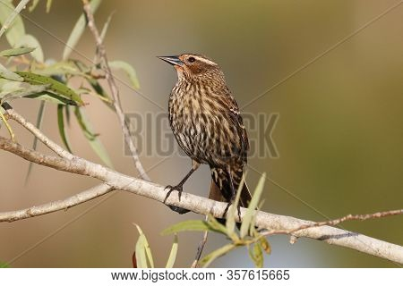 A  Female Red Winged Blackbird Pearched On A Bush In Florida