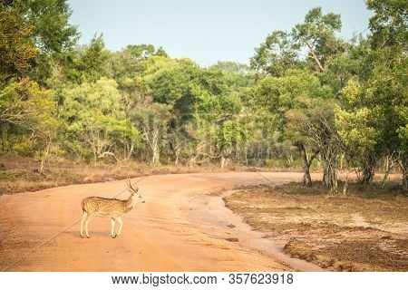 Wild Spotted Deer, The Chital Or Cheetal (axis Axis) In Yala National Park, Sri Lanka, Scene From Na