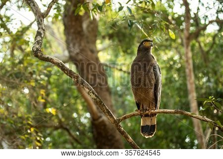 Portrait Of Crested Serpent Eagle Perched In Tree In Wilpattu National Park In Sri Lanka, Close Up P