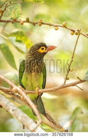 Close Up Green And Brown Brown-headed Barbet Megalaima Zeylanica Feeding On Fruits Of Palm Tree. Cle