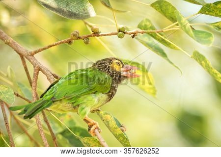 Close Up Green And Brown Brown-headed Barbet Megalaima Zeylanica Feeding On Fruits Of Palm Tree With