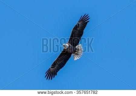 A Bald Eagle Glides Through The Air And Blue Sky.