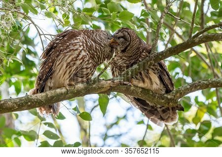 Two Barred Owls In A Tree Show Affection And Groom Each Other.