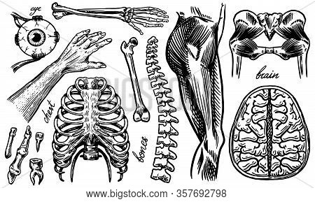 Anatomy Of Human Bones And Muscles. Organ Systems. Body And Thorax Or Chest, Ribs And Pelvis, Heart