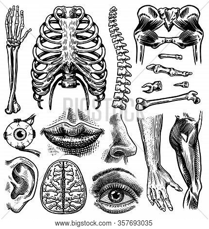 Anatomy Of Human Bones And Muscles Set. Organ Systems. Body And Thorax And Pelvis, Heart And Brain,