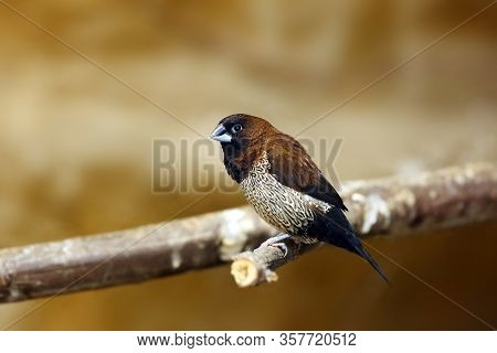 The Scaly-breasted Munia Or Spotted Munia (lonchura Punctulata) Or  Nutmeg Mannikin Or Spice Finch S