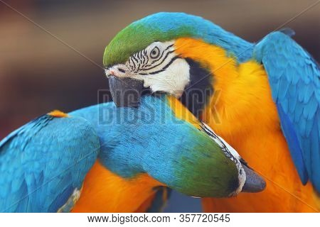 The Blue-and-yellow Macaw (ara Ararauna), Also Known As The Blue-and-gold Macaw, Portrait Of The Pai